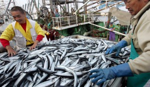 Japanese fishermen handling fresh catch of saba, or mackeral, at the fishing port of Choshi