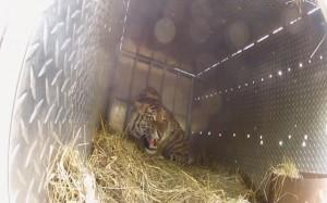 tigeran5
