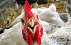 Россельхознадзор запретит ввоз мяса птицы и яиц из стран Европы с птичьим гриппом